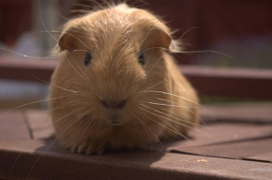 Guinea Pig by MJames